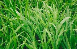 L'erba verde di mattina inumidisce le gocce fotografia stock
