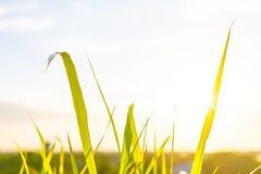 L'erba verde ed i fiori dell'erba sul campo con il chiarore si accendono Fotografie Stock