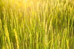 L'erba verde ha acceso il sole al fondo della natura del tramonto Fotografia Stock Libera da Diritti