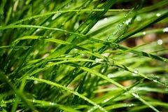 L'erba verde ha bagnato 2 Fotografia Stock
