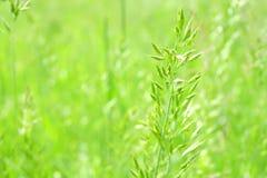 L'erba verde succosa dell'estate sull'europeo meravigliosamente ha offuscato il fondo Fotografia Stock