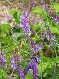 L'erbaccia della veccia ha fiori porpora e bianchi Immagini Stock