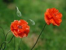 L'erbaccia rossa Fotografie Stock