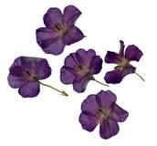 L'erbario della porpora ha asciugato e premuto i fiori viola isolati fotografie stock