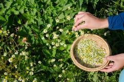 L'erborista raccoglie a mano le fioriture di erbe del fiore della camomilla Immagini Stock Libere da Diritti