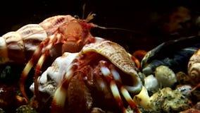 L'eremita del Cancro esce dal underwater delle coperture alla ricerca di alimento in mar Bianco archivi video