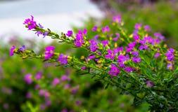 L'erica falsa o la decorazione scherzosa dell'erba fiorisce crescere nel giardino al parco locale fotografia stock libera da diritti