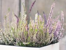 L'erica fiorisce il fondo dei colore pastello Fotografie Stock Libere da Diritti