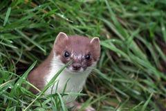 L'erminea prédateur de Mustela, ou la hermine anglaise est un predtor dangereux photographie stock libre de droits