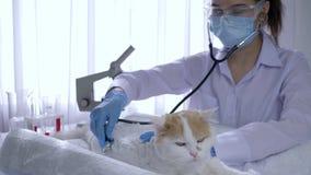 L'esame medico degli animali, donna con lo stetoscopio ispeziona la bestia domestica in clinica veterinaria stock footage