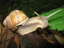 L'escargot à cornes curieux rampant sur un arbre Photographie stock libre de droits