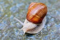L'escargot Photo libre de droits