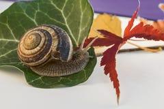 L'escargot avec la feuille de l'érable japonais et d'autre part Photographie stock libre de droits