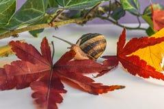 L'escargot avec la feuille de l'érable japonais et d'autre part Image stock