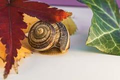 L'escargot avec la feuille de l'érable japonais et d'autre part Images stock