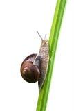 L'escargot comestible au-dessus du blanc Photos stock