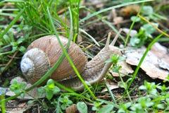 L'escargot dans l'herbe rampe en avant Images stock