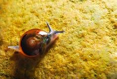 L'escargot de jardin Photos stock
