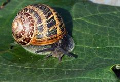 L'escargot de jardin, (aspersum de Cornu) se ferment  Images libres de droits
