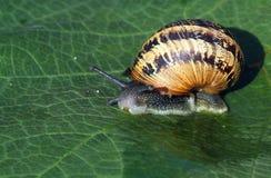 L'escargot de jardin, (aspersum de Cornu) se ferment  Photos libres de droits