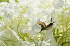 L'escargot de jardin rampe à l'intérieur d'une grande fleur blanche Image libre de droits