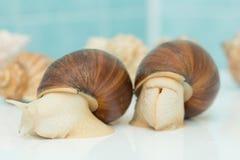 L'escargot géant Achatina est le plus grand mollusque de terre sur terre Images libres de droits