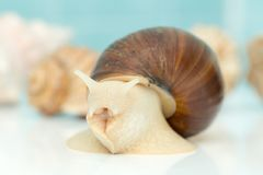 L'escargot géant Achatina est le plus grand mollusque de terre sur terre Image stock