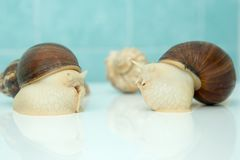 L'escargot géant Achatina est le plus grand mollusque de terre sur terre Images stock
