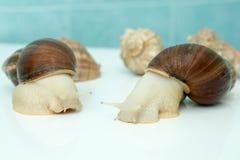 L'escargot géant Achatina est le plus grand mollusque de terre sur terre Photo libre de droits