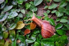 L'escargot laisse la feuille Photographie stock libre de droits