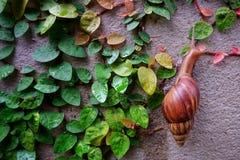 L'escargot laisse la feuille Photos libres de droits