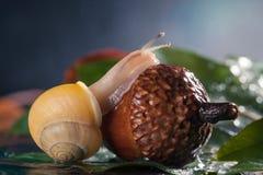 L'escargot magique rampe sur un gland images libres de droits