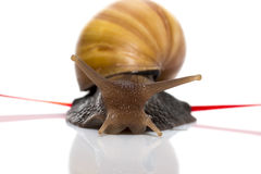 L'escargot rapide croise la bande de finition sur un fond blanc Images stock