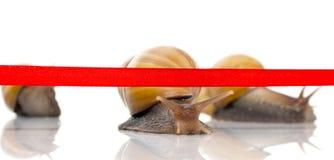 L'escargot rapide croise la bande de finition sur un fond blanc Photographie stock libre de droits