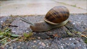 L'escargot se déplace sur le trottoir après pluie clips vidéos