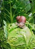 L'escargot se repose sur le chou dans le jardin photo libre de droits