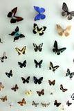 L'esemplare variopinto delle farfalle con differenti specie Fotografia Stock Libera da Diritti