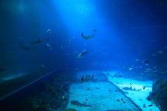 L'espèce marine dans l'aquarium Photos libres de droits