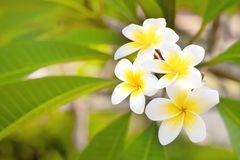 L'espace de Cory, fleurs parfumées blanches pures parfumées fabuleuses avec les centres jaunes du plumeria tropical exotique d'es photographie stock libre de droits