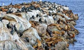 L'espace de part d'otaries et de cormorans de Brandt d'élevage Photo stock