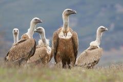 L'Espagne, vautour de griffon Image stock