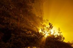 L'esplosione del sole stria lucidare attraverso il pino Immagini Stock Libere da Diritti
