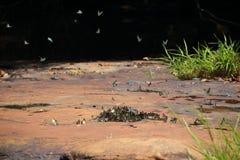 L'essaim de papillons mange des minerais Photographie stock