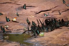 L'essaim de papillons mange des minerais Photos libres de droits