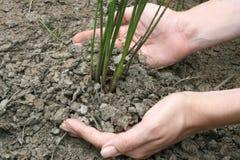 L'essere umano coltiva una pianta Fotografia Stock