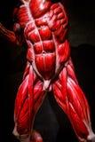 L'essere umano muscles il modello dell'anatomia sul nero Fotografia Stock Libera da Diritti