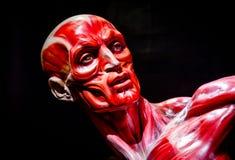 L'essere umano muscles il modello dell'anatomia sul nero Fotografie Stock Libere da Diritti
