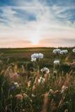 L'estate bianca selvaggia fiorisce nel sole di sera Fotografie Stock