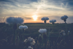L'estate bianca selvaggia fiorisce nel sole di sera Immagini Stock