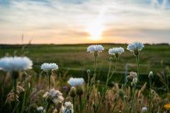 L'estate bianca selvaggia fiorisce nel sole di sera Immagine Stock